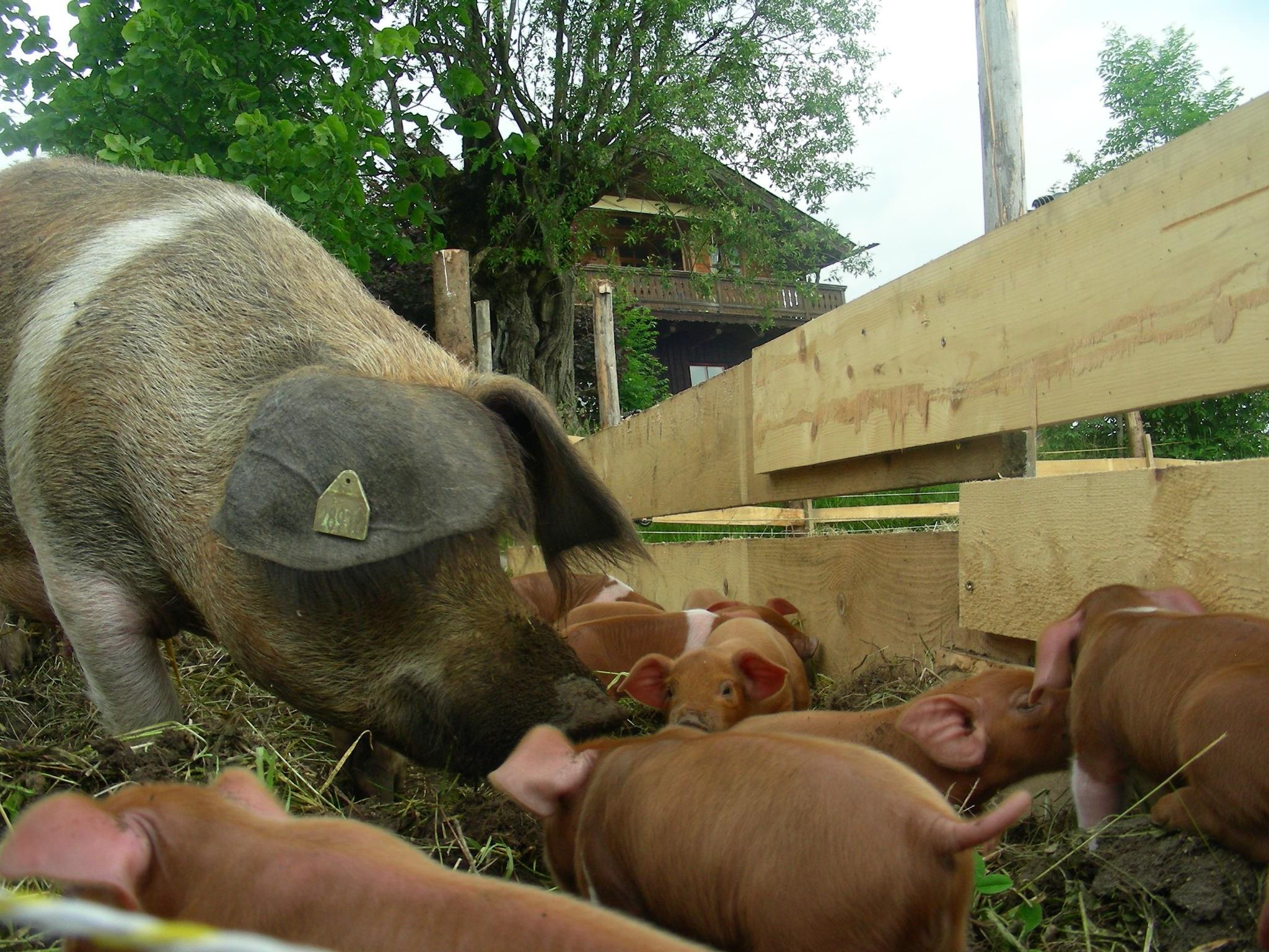 bio-weideschweine-4.jpg